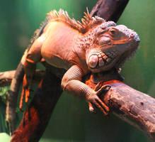 Green Iguana 02 by fuguestock