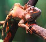 Green Iguana 02