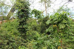 Jungle Scenes 11 - Canopy