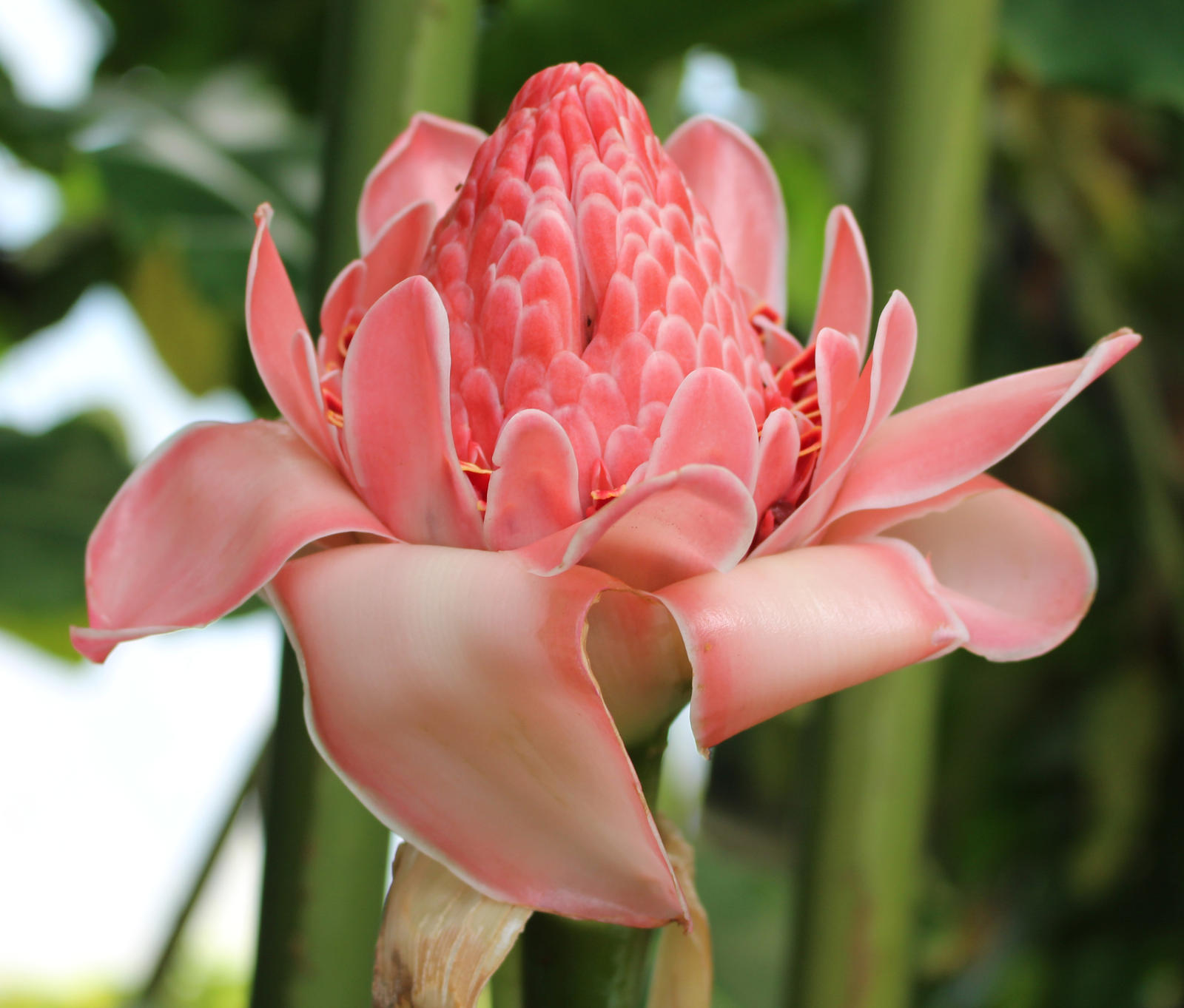 Red Torch Ginger Plant