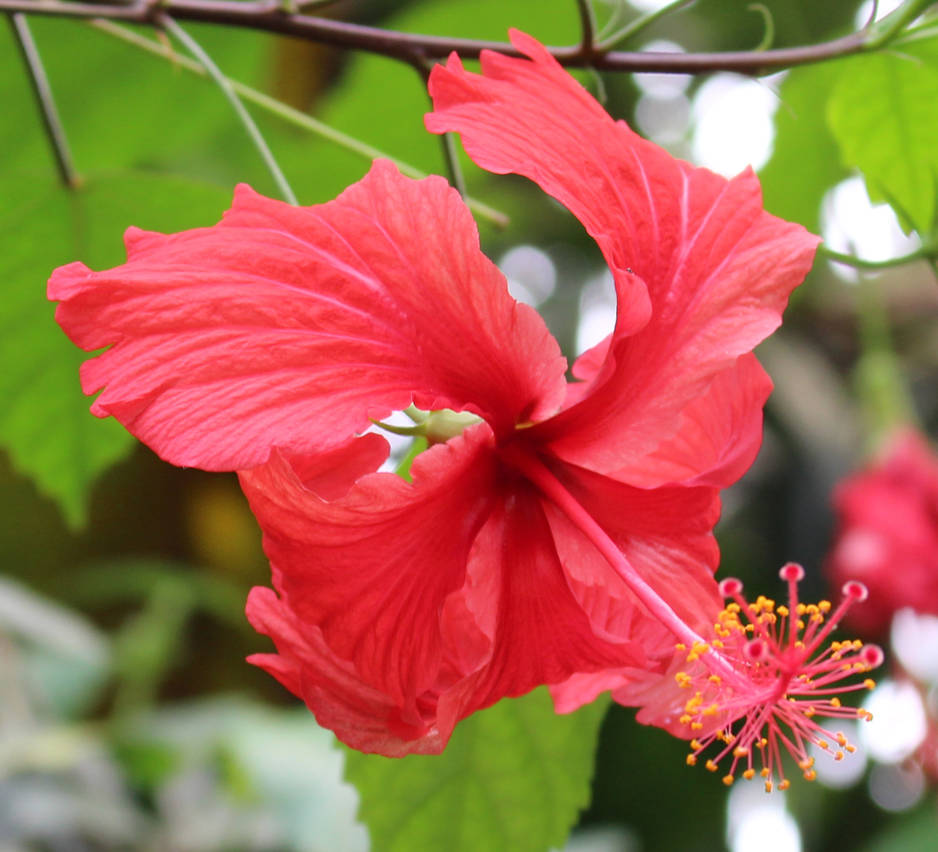 Rain Forest Plants 12 - Hibiscus, Red Swirl by fuguestock