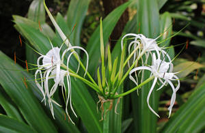 Rain Forest Plants 11 - Spider Lily by fuguestock