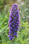 Purple Flowers - Field Orchid?
