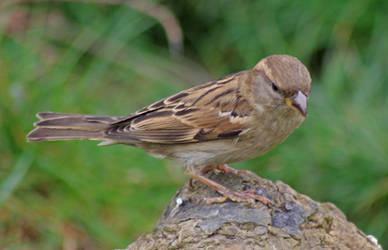 Female House Sparrow 2