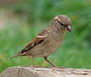 Female House Sparrow 1