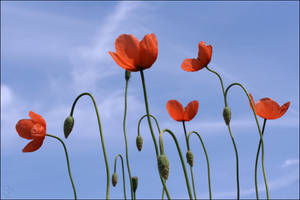 Coquelicots ..... by pourquoipas