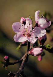 Equinoxal Peach Blossom by CapturedCosmicDebris