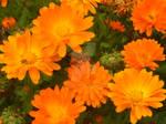 Orange Flowers by Lunar-Ray