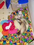 Pile of ferrets 2 by Chewiesdad