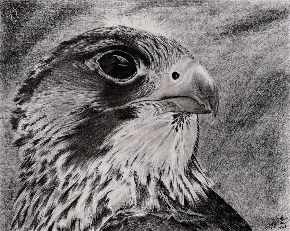 Peregrine Falcon Sketch Peregrine Falcon by Chaldemone