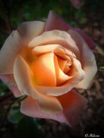 La Vie En Rose by Ibilicious