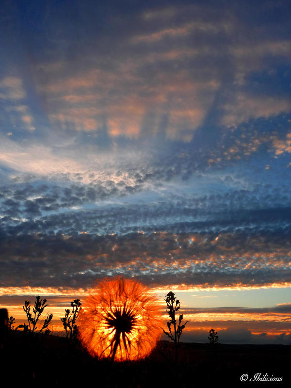 The Dandelion Sun by Ibilicious