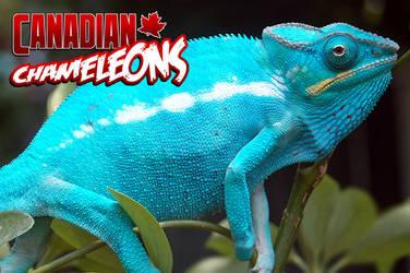Chameleons.ca Advert 1