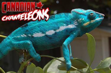 Chameleons.ca Advert 2
