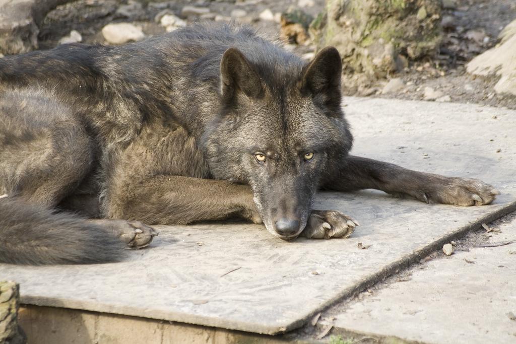 Black Timber Wolf Size | www.pixshark.com - Images ...