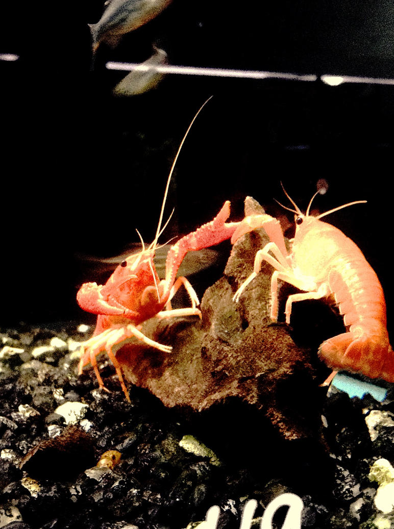 Dueling Crayfish by TheOfficialLobst