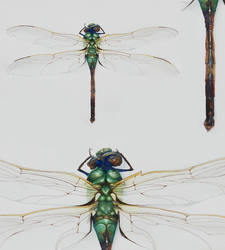 Dragonfly Watercolor   Closeups By Kainslee-d4