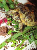 greek tortoise by dottypurrs