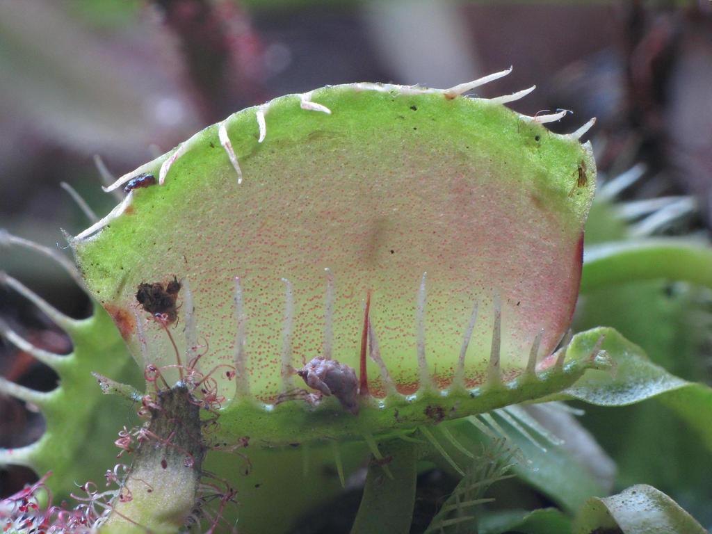 Venus Fly Trap - Dionaea muscipula by DeaneP