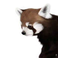 Red Panda - practice study by RoadKillBarbie