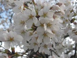 Cherry Blossom Cluster by Tsarina-Nereid