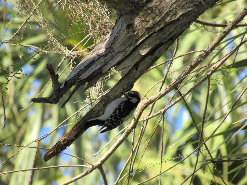 Woodpecker 2 by JNLDreamer