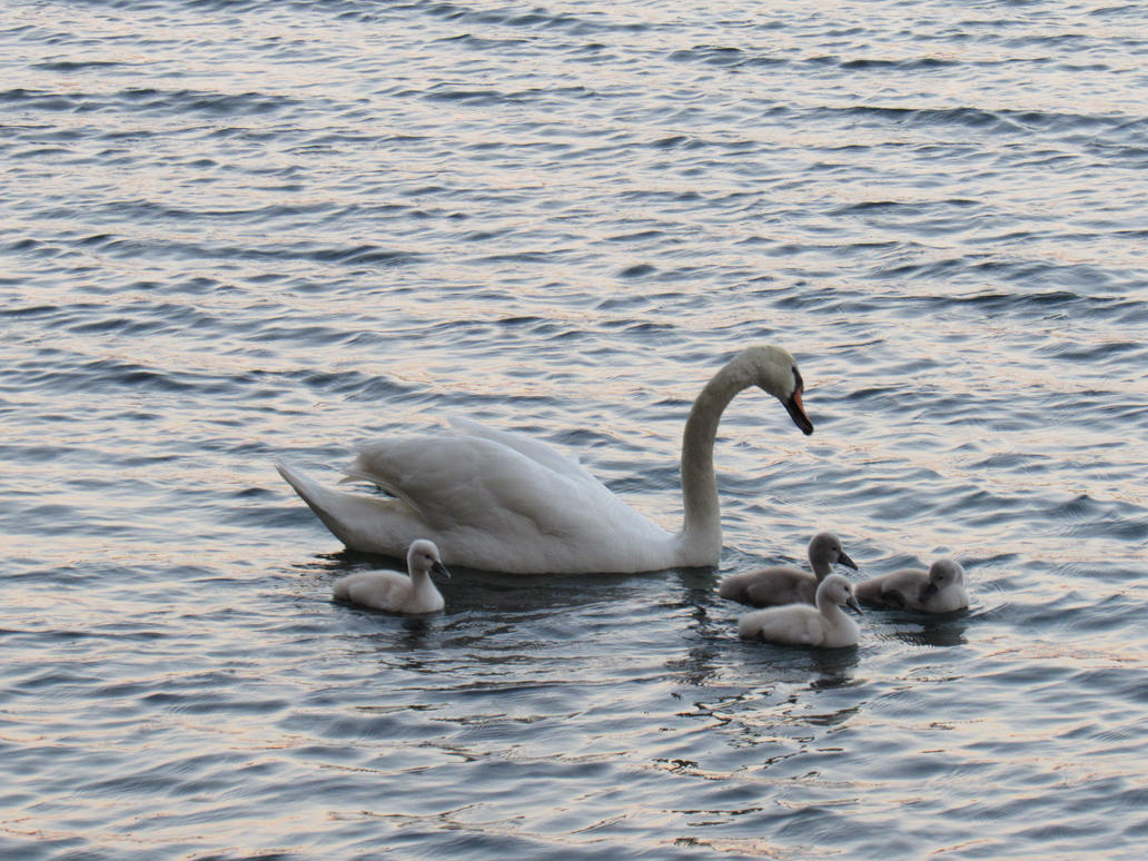 Baby swans by JNLDreamer