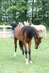Saddlebred 16