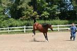 saddlebred 61