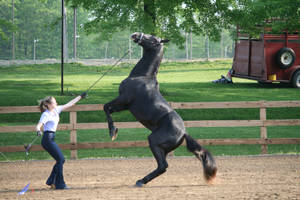 Gaited Horse 126 by FantasyDesignStock