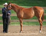 Quarter Horse 197