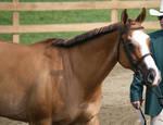 Quarter Horse 235