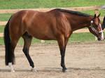 Quarter Horse 262