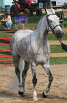 Arabian Horse 21
