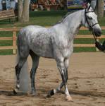 Arabian Horse 23