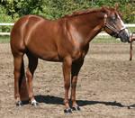 Quarter Horse 339