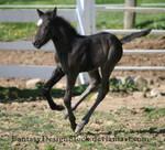 Foal-Carl 35