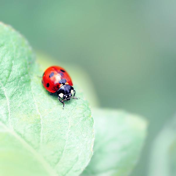 ladybug by Megson