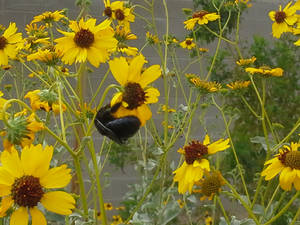 Carpenter Bee and Flowers