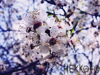 Flowers by Hekkoto