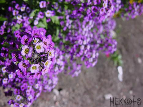 Fistful of purple