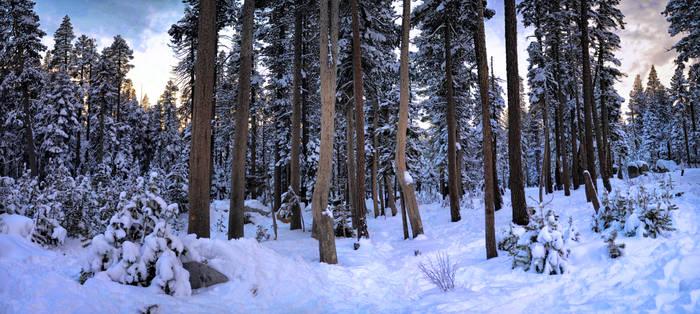 Snow trees in Tahoe