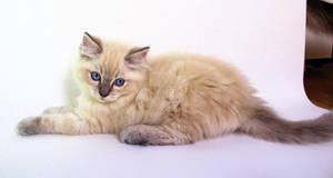 Blue eye blue lynx point ragdoll kitten