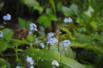 forget me not1