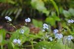 forget me not2