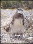 .little pinguin