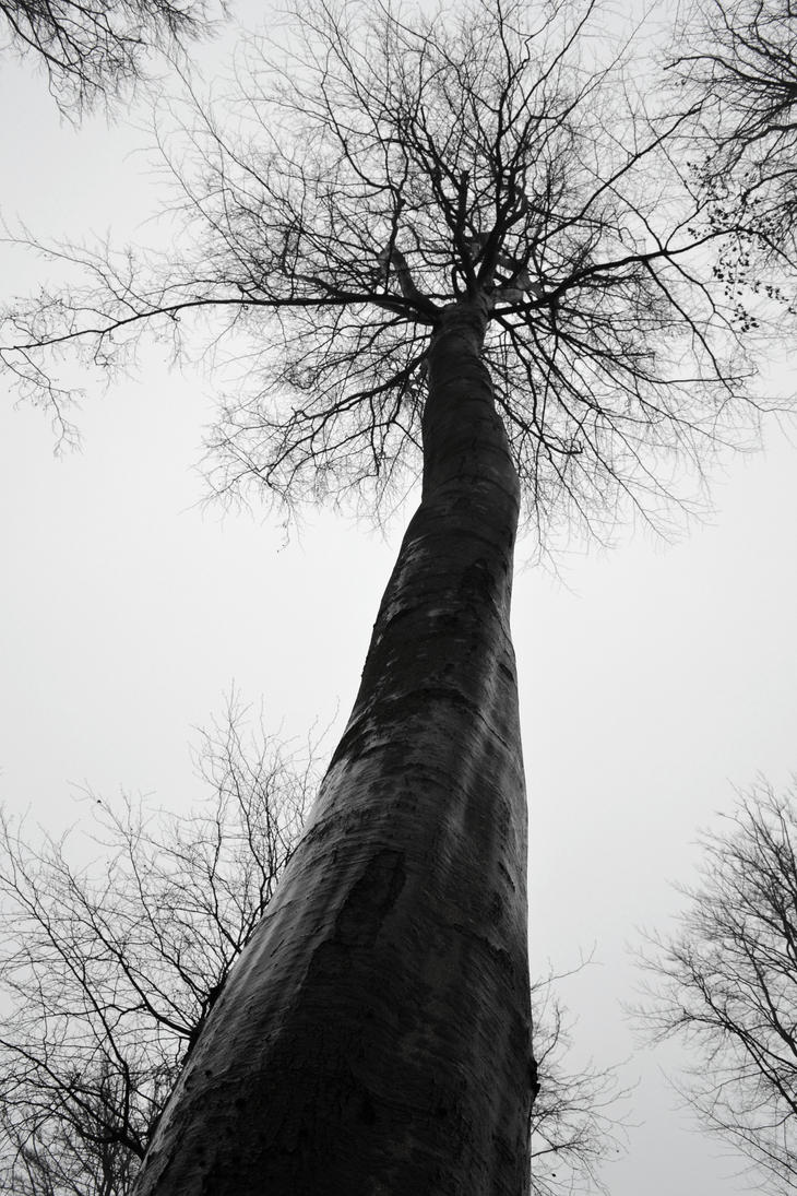 Tall Tree by Nanzen