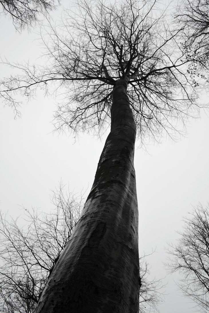 Tall Tree by Nanzen