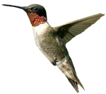 Male humming bird PNG