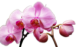 Orchid stock png